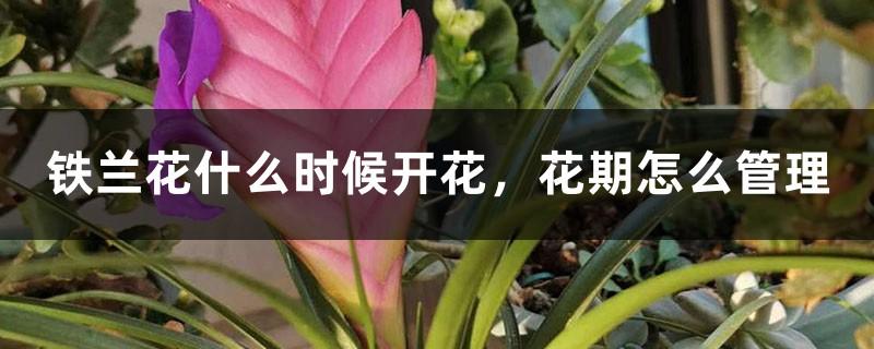 铁兰花什么时候开花,花期怎么管理