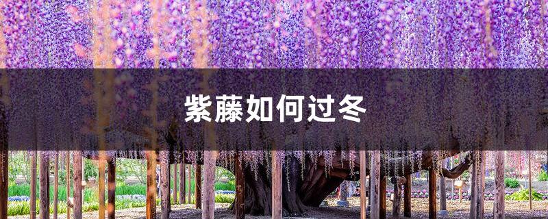 紫藤如何过冬