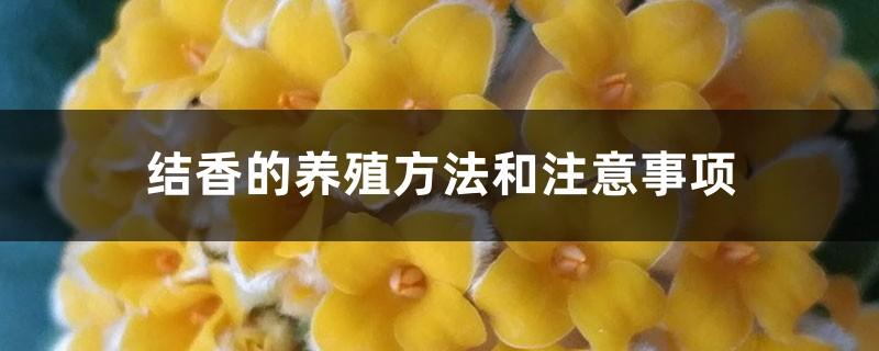 结香的养殖方法和注意事项