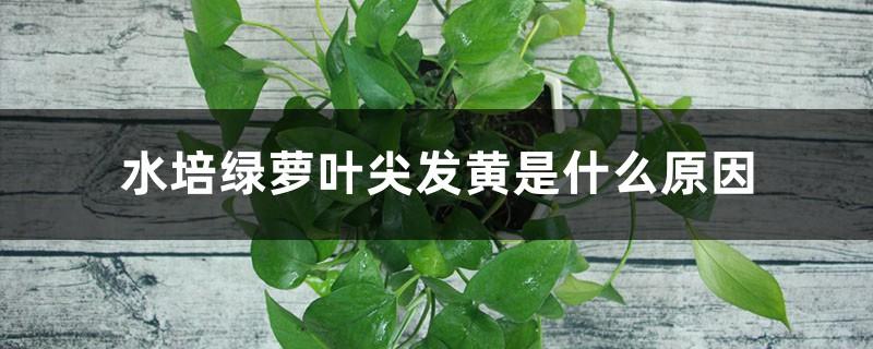 水培绿萝叶尖发黄是什么原因