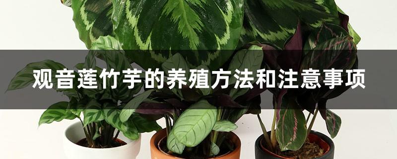 观音莲竹芋的养殖方法和注意事项