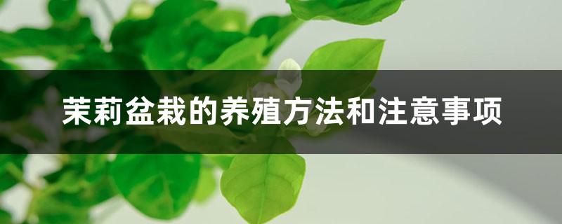 茉莉盆栽的养殖方法和注意事项
