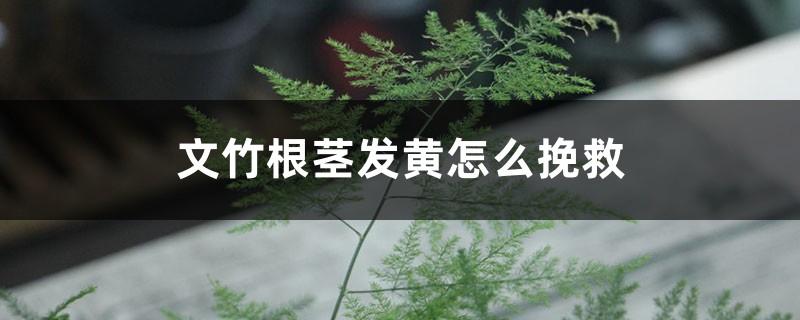 文竹根茎发黄怎么挽救,枝叶发黄怎么办