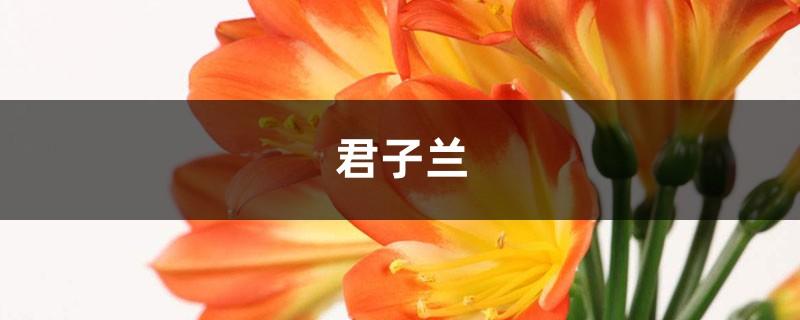 """""""君子兰""""土壤换成""""它"""",年年开红花,叶子绿得直冒油!"""