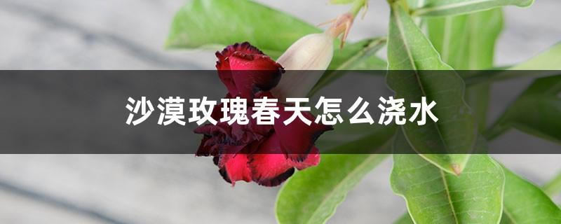 沙漠玫瑰春天怎么浇水