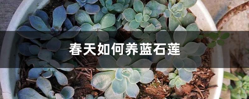 春天如何养蓝石莲
