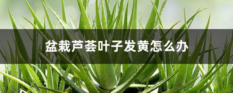 盆栽芦荟叶子发黄怎么办