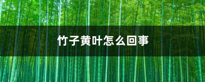竹子黄叶怎么回事