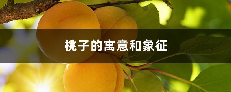 條 桃子 能