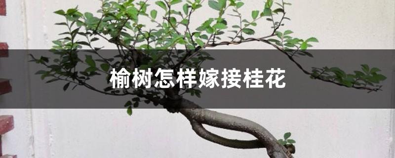 榆树怎样嫁接桂花