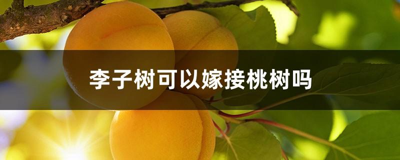 李子树可以嫁接桃树吗
