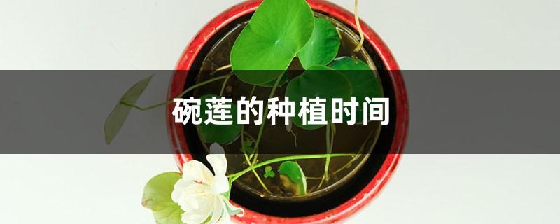 碗莲的种植时间