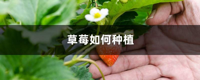 草莓表面刮点皮,扔土里蹭蹭冒芽,结出100个果子!
