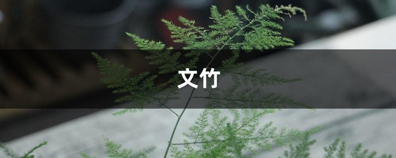 """""""文竹""""换个方法养,叶子茂盛长满盆,还不黄叶,好看!"""