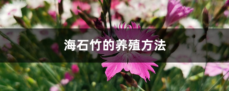 海石竹的养殖方法