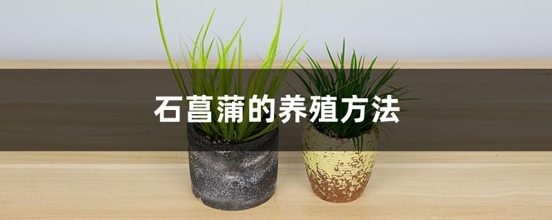 石菖蒲的养殖方法