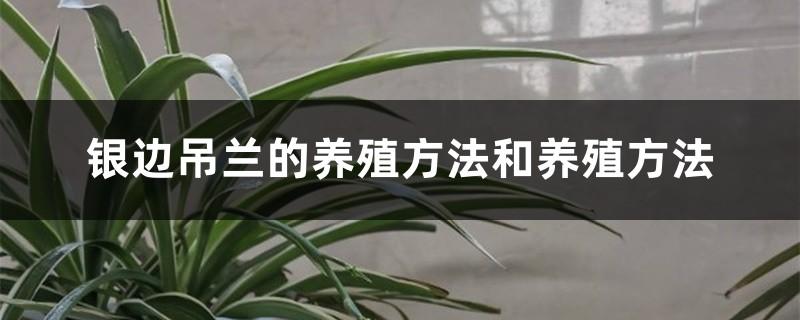 银边吊兰的养殖方法和养殖方法