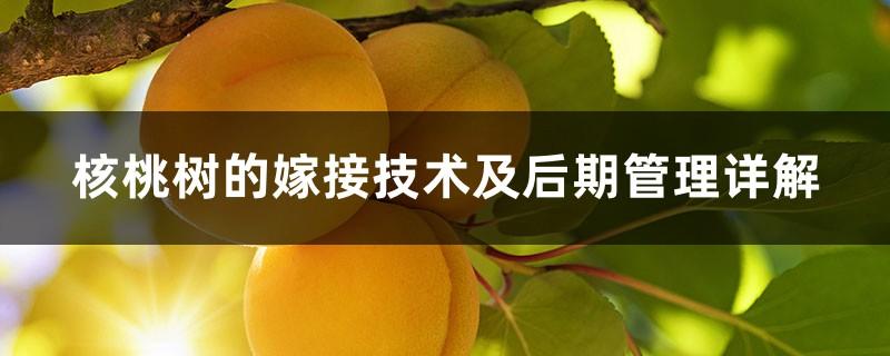 核桃树的嫁接技术及后期管理详解