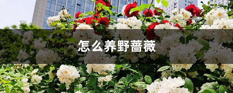 怎么养野蔷薇