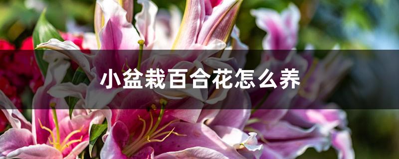 小盆栽百合花怎么养