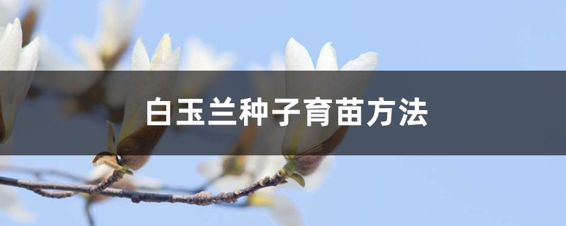白玉兰种子育苗方法