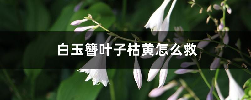 白玉簪叶子枯黄怎么救