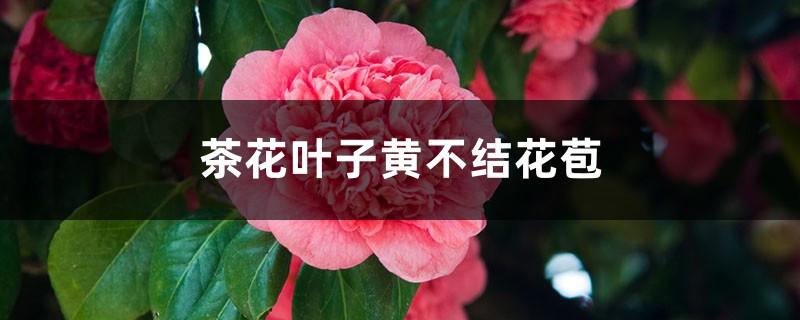 茶花叶子黄不结花苞怎么办