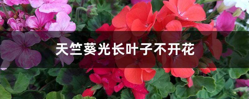 天竺葵光长叶子不开花怎么办
