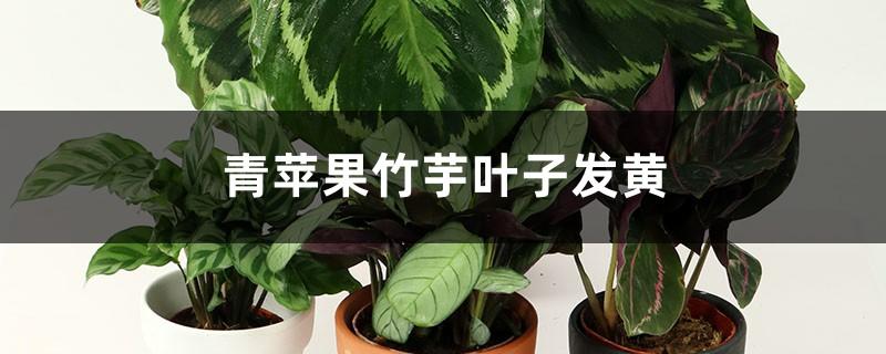 青苹果竹芋叶子发黄怎么办