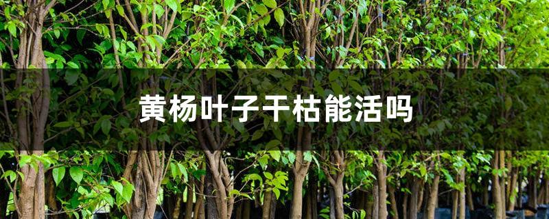 黄杨叶子干枯还能活吗