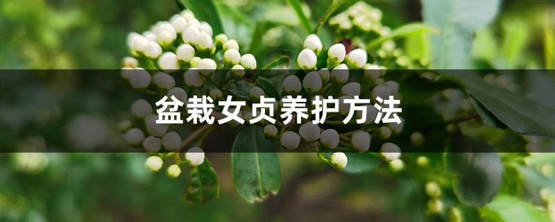 盆栽女贞养护方法