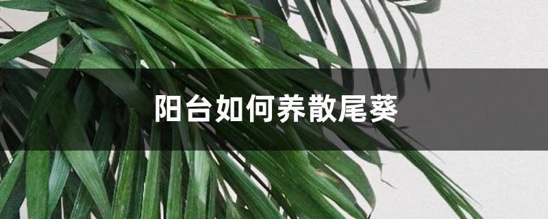阳台如何养散尾葵,需要注意什么