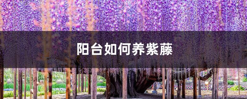 阳台如何养紫藤,需要注意什么