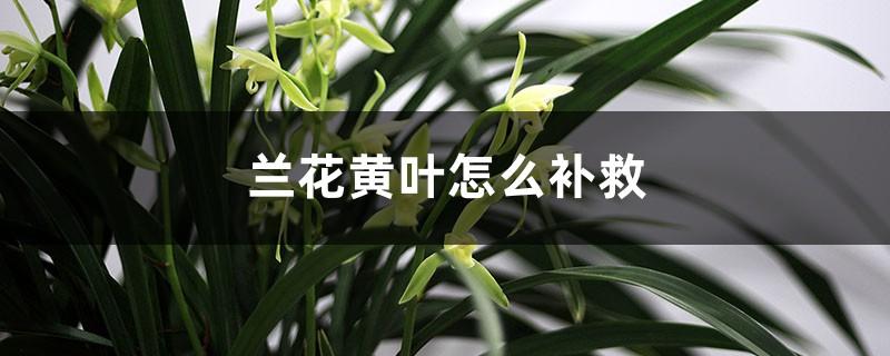 兰花黄叶的原因和处理办法