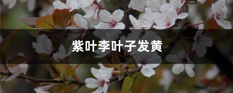 紫叶李黄叶的原因和处理办法