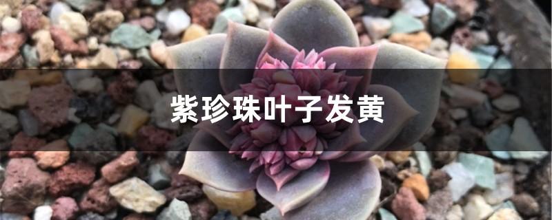 紫珍珠黄叶的原因和处理办法