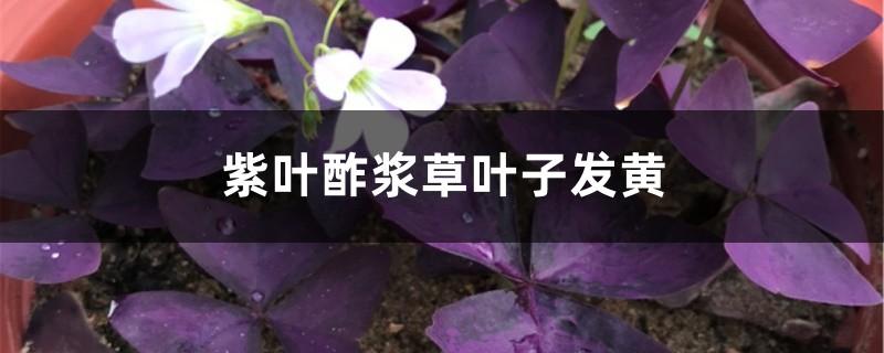 紫叶酢浆草黄叶的原因和处理办法