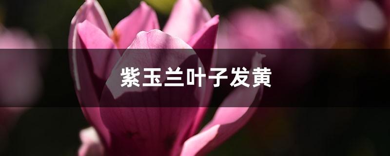 紫玉兰黄叶的原因和处理办法