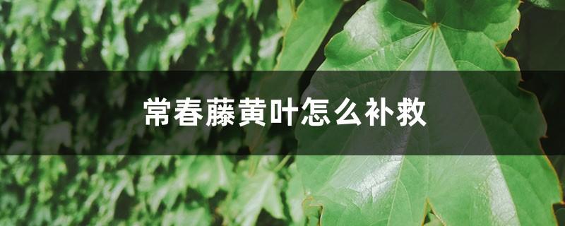 常春藤黄叶的原因和处理办法