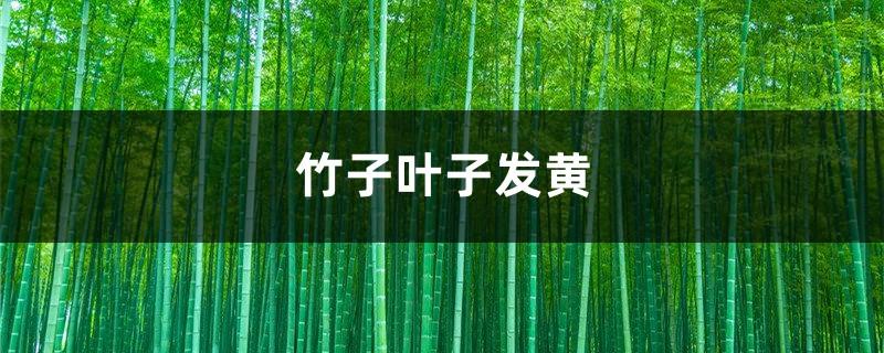 竹子黄叶的原因和处理办法