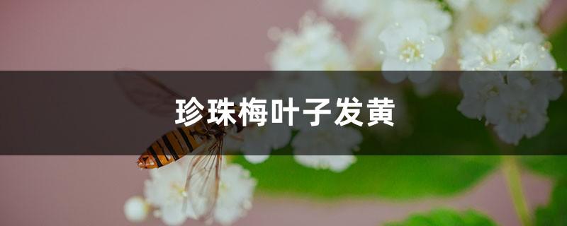 珍珠梅黄叶的原因和处理办法