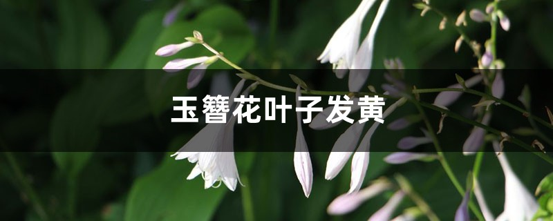 玉簪花黄叶的原因和处理办法