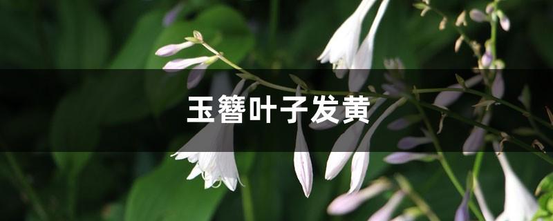 玉簪黄叶的原因和处理办法