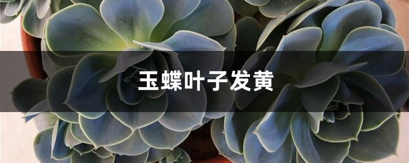 玉蝶黄叶的原因和处理办法