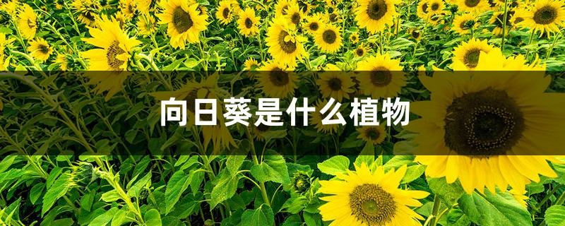 向日葵是什么植物(重瓣向日葵)