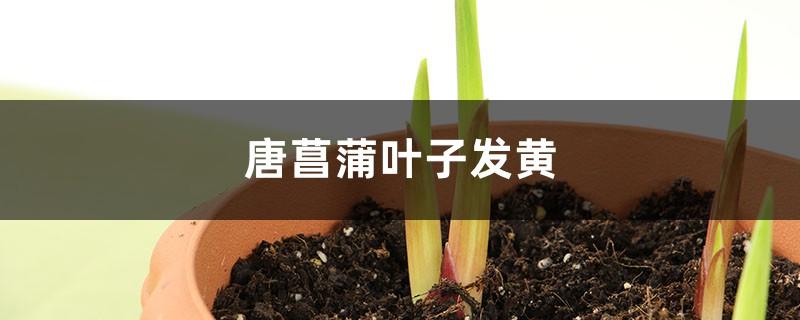唐菖蒲黄叶的原因和处理办法