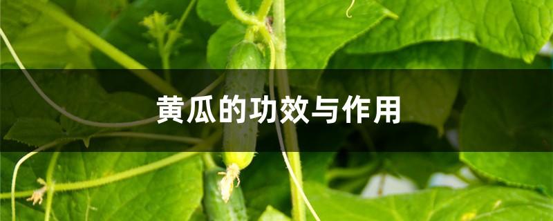 黄瓜的功效与作用,吃黄瓜有什么好处
