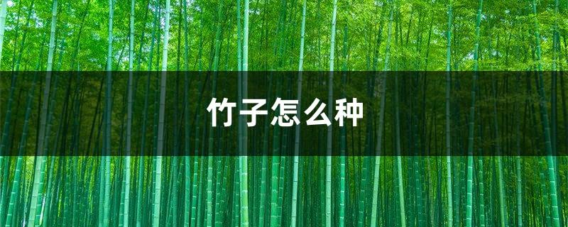 竹子怎么种,竹子图片
