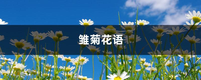 雏菊的花语和寓意