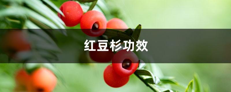 红豆杉功效,红豆杉价格